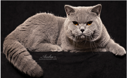 British Shorthair Queens - British Shorthair Kittens